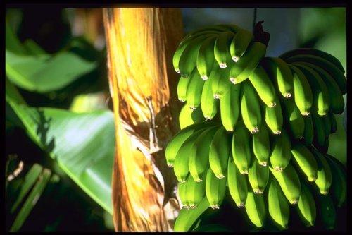 banany-500.jpg