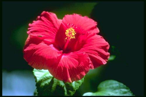 czerwony-kwiat-500.jpg
