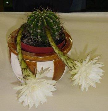 kaktus-350.jpg
